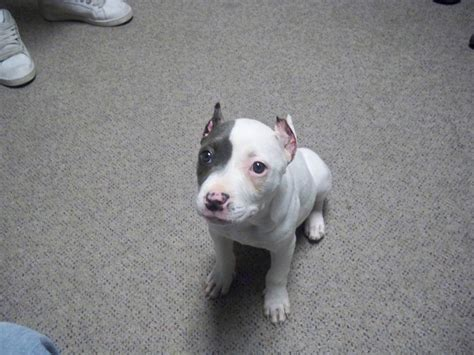 pit bull terrier puppy american pit bull terrier reviews and pictures dogs 360