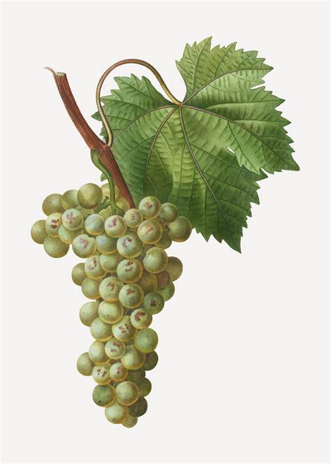 green grape  vector art   downloads