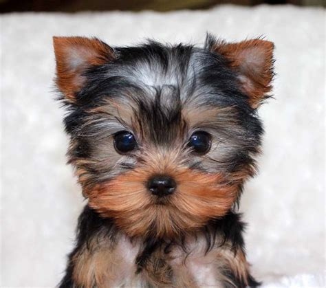 teacup yorkie puppies for sale nj best 25 micro teacup dogs ideas on teacup dogs tiny puppies and teacup