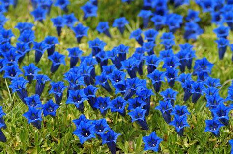 fiore di genziana la genziana discoverplaces