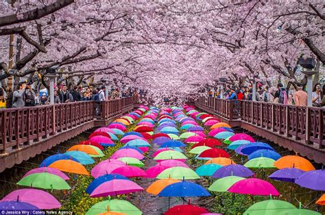 imagenes korea japon japan and south korea are transformed by blooming cherry