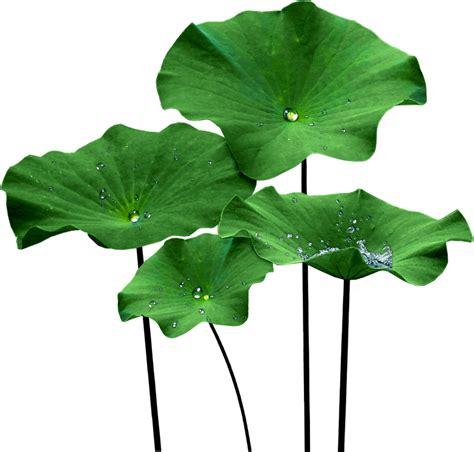 Pelangsing Lotus Leaf obat herbal pelangsing tubuh untuk pria ahlinya obat herbal