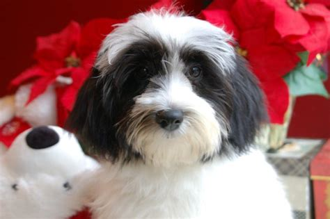 havanese carolina carolina dogs and puppies for sale free carolina rachael edwards