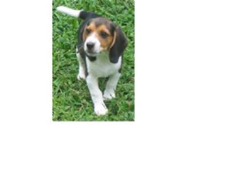 beagle puppies for sale in nc beagle puppies in carolina