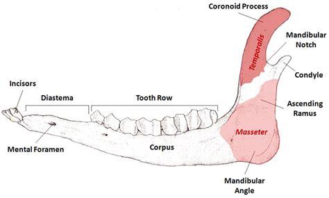 mandible diagram figure 2 generalised diagram of typical ungulate mandible