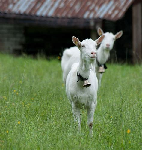 can i have goats in my backyard goats with bells on goatvet gypsy goat lady pinterest