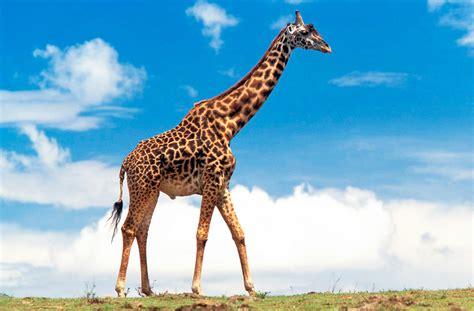 imagenes reales de jirafas otros deciam