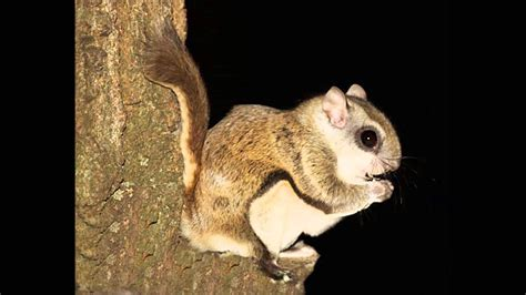 seven interesting facts about flying squirrels youtube