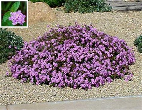 flowering spreading ground cover plants images frompo 1