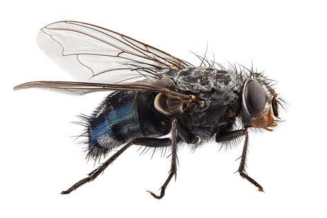 flies aai pest control