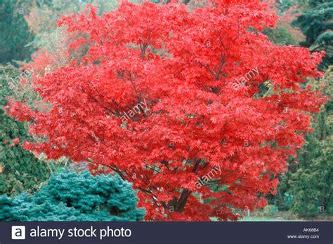 Japanischer Ahorn Kaufen 117 by Japanische Ahorn Im Herbst Acer Palmatum Osakazuki