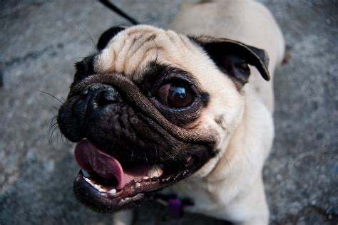 when do pug puppies open their what your favorite breed says about you