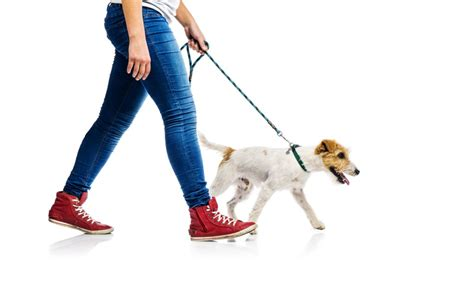 when can i walk my puppy can i walk my after back surgery dr stefano sinicropi