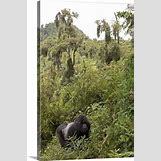 Mountain Gorilla Habitat   356 x 540 jpeg 108kB