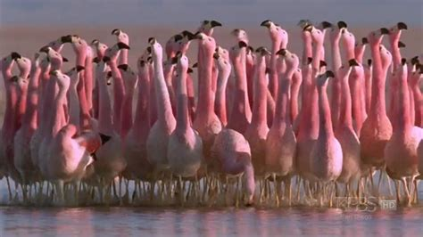 Bfs Big Flamingo andean flamingo mating nature andes looks like the background dancers in a big ballet