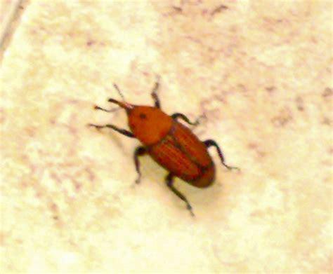 insetti in casa insetto da identificare rhynchophorus ferrugineus forum