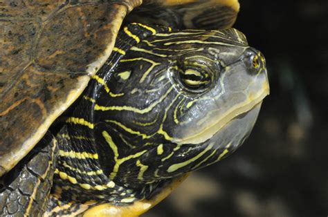 missouri map turtle map turtle graptemys geographica