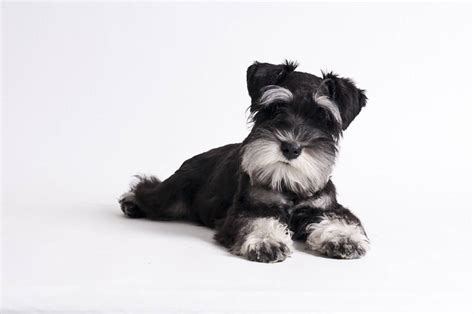 puppy laying 55 adorable miniature schnauzer pictures