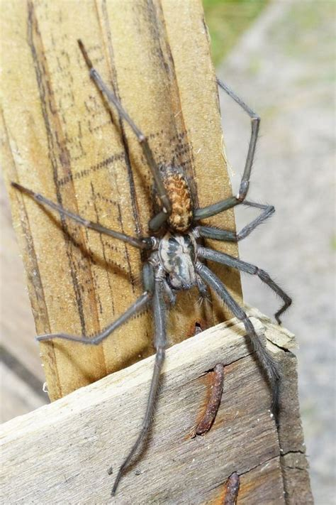 big spider on side of house spiders as big as mice invading british homes as horny creatures look for somewhere to