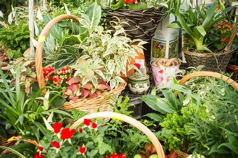indoor flowering plants indoor flowering plants hollybush garden centre and