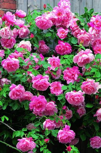 madame gregoire staechelin roses uk