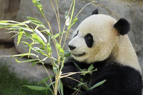 www panda panda born in belgium s pairi daiza zoo event