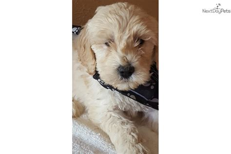 goldendoodle puppies for sale in houston rett goldendoodle puppy for sale near houston