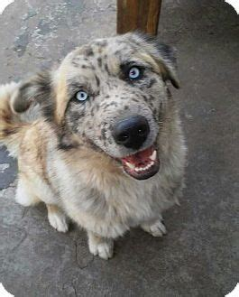 australian shepherd husky mix puppies for adoption 17 best ideas about australian shepherd husky on australian shepherd