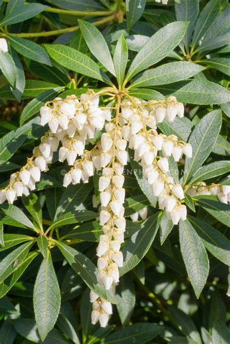 pieris japonica dodd s crystal cascade falls in white