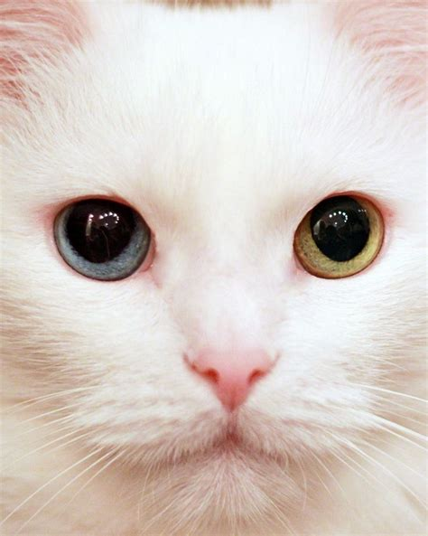 White Colorless Cat Eye 17 best images about two colored on
