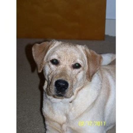 puppies for sale in rochester ny yellow lab puppies for sale rochester ny