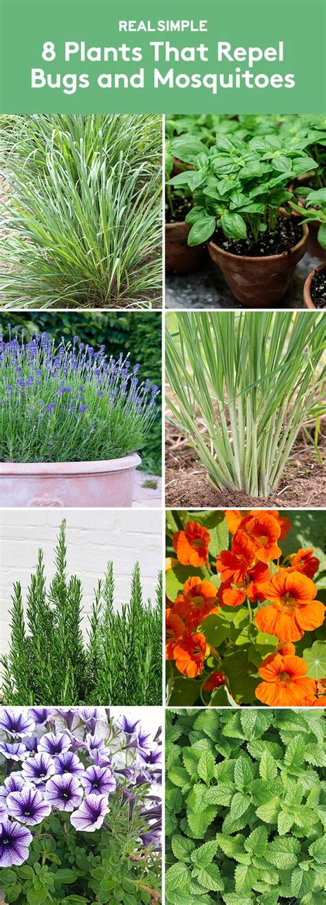 8 plants that repel bugs and mosquitoes gardens plants that repel bugs and plants