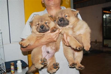 mini chow chow puppies mini chow chow puppy for sale for sale adoption from kuala lumpur adpost
