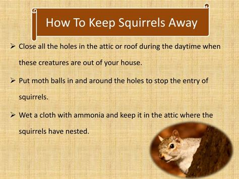 ppt squirrels in attic removal powerpoint presentation