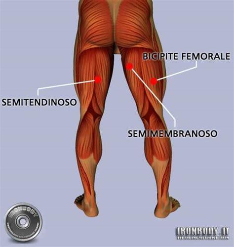 dolore interno coscia inguine muscoli della coscia posteriori