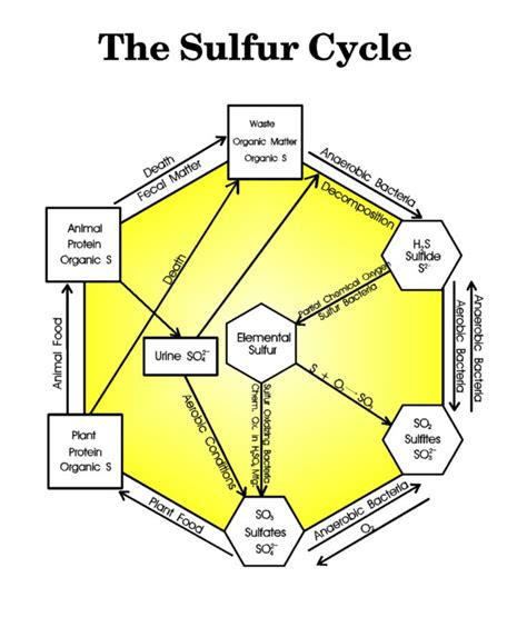 diagram of cycle sulfur cycle diagram and explanation images