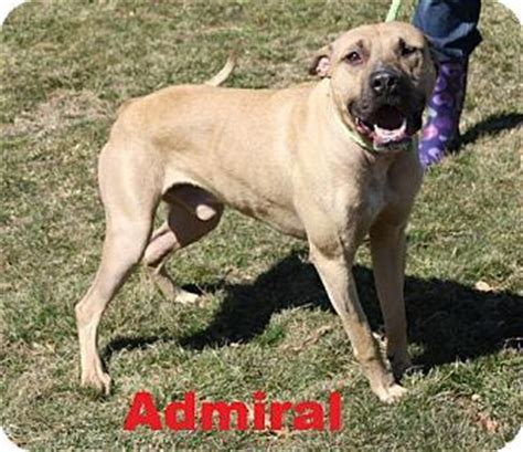 puppies for adoption in wv beckley wv boxer mix meet admiral a for adoption http www adoptapet