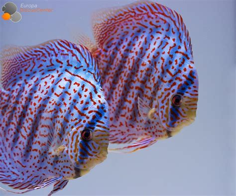 Aquarium Aquascape Lu Led Air Amara Aa Q9 mosaic leopard diskus zuchtpaar pinteres
