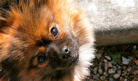 pomeranian animal shelter pomeranian rescue story tonks the charmer