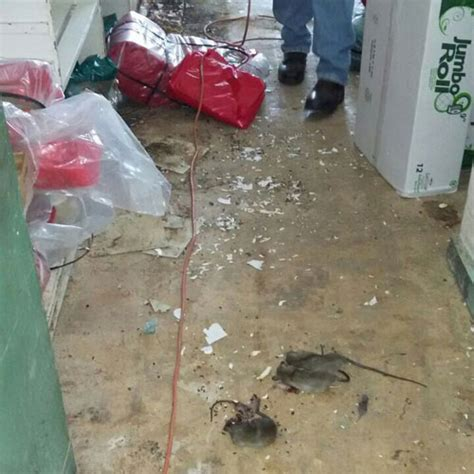 Rat Infestation Kitchen by Rat Motel At Western Regional Hospital Amandala Newspaper