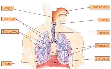 imagenes del sistema respiratorio ingles biologia2bachc aparato respiratorio