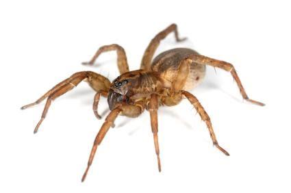 Brown Garden Spider by Cycles Of The Brown Garden Spider