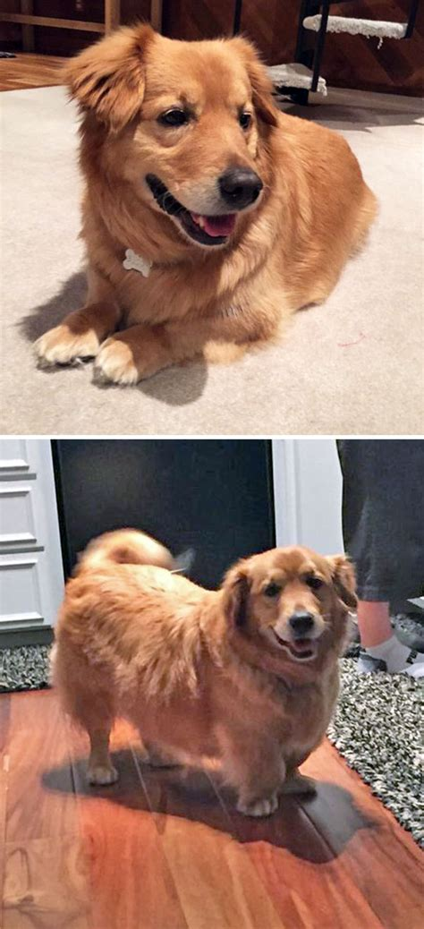 golden retriever cross breeds list 10 times corgis mixed with other breeds and the result was absolutely pawsome