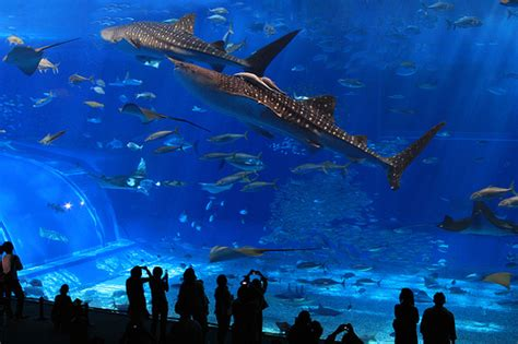 japanese aquarium churaumi aquarium flickr photo sharing