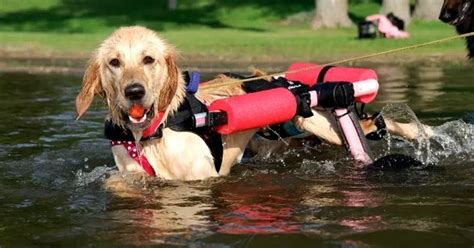 retrieve a golden of minnesota white wolf golden retriever with disabilities swims with