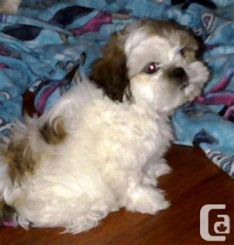 how to if a shih tzu is purebred purebred shih tzu for sale in current saskatchewan classifieds