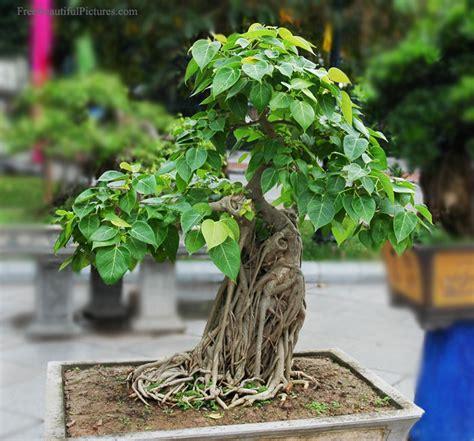 bodhi tree bonsai