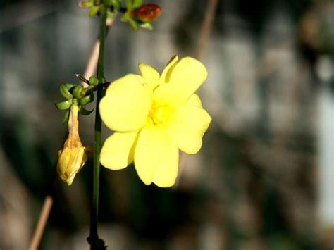 fiore giallo significato gelsomino significato significato fiori il significato