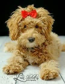 goldendoodle puppy growing up types of goldendoodle haircuts search pinteres