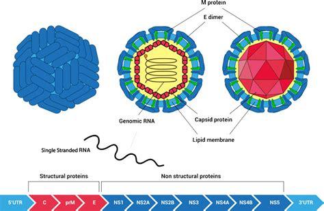m protein virus zika virus antigens and antibodies amsbio